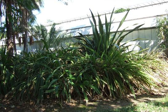 Setaria palmifolia - sétaire à feuilles de palmier Dscf2640