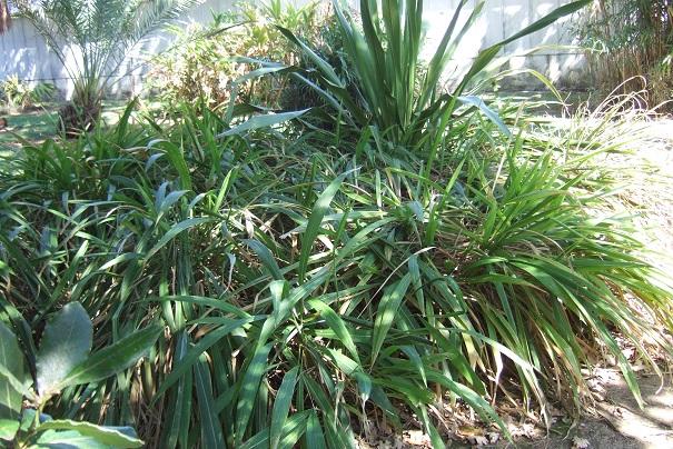 Setaria palmifolia - sétaire à feuilles de palmier - Page 2 Dscf2643