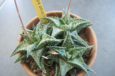 Aloe descoingsii Dscf2811