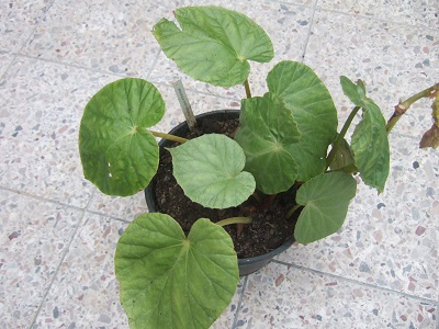 Begonia chitoensis Dscf5210