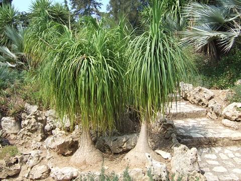 Beaucarnea recurvata - (ex Nolina recurvata) Dscf5310