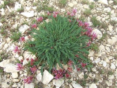 Astragalus monspessulanus - astragale de Montpellier Dscf6010