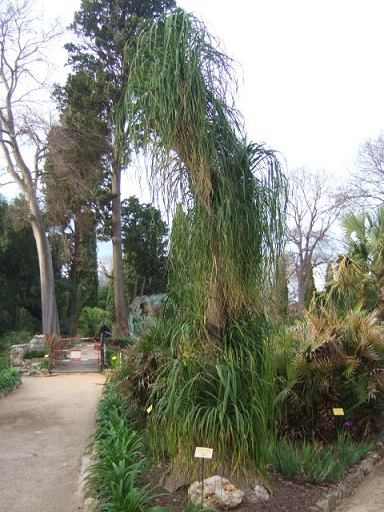 Beaucarnea recurvata - (ex Nolina recurvata) Dscf9510