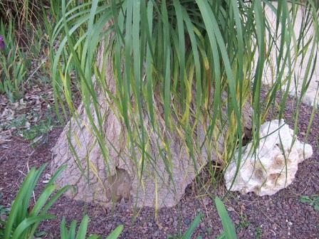 Beaucarnea recurvata - (ex Nolina recurvata) Dscf9511