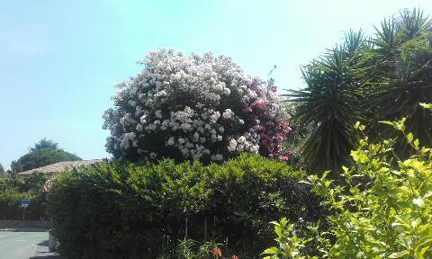 Nerium oleander - laurier rose - Page 2 Rps20117