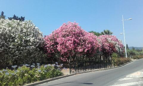 Nerium oleander - laurier rose - Page 2 Rps20118