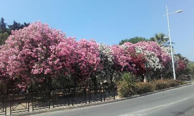 Nerium oleander - laurier rose - Page 2 Rps20119