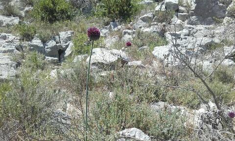 Allium sphaerocephalon [Identification] Rps20122