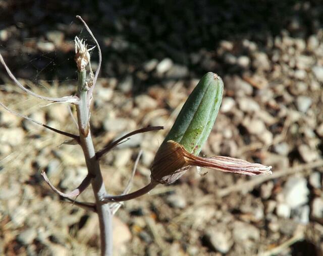 Aristaloe aristata  (= Aloe aristata) - Page 4 Rps20123