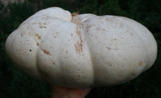 Cucurbitaceae - Cucurbitacées 570_7017