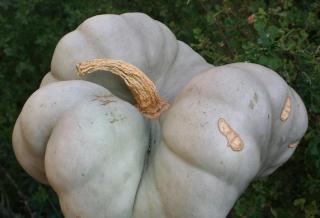 Cucurbitaceae - Cucurbitacées 570_7018