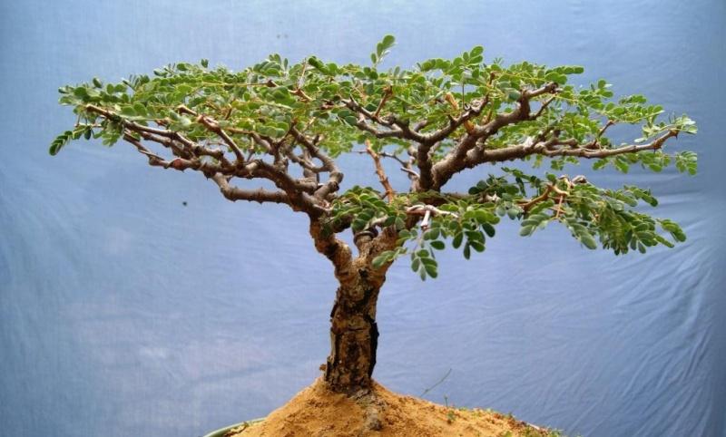 Acacia burkei,  Pierneef Style Acacia12