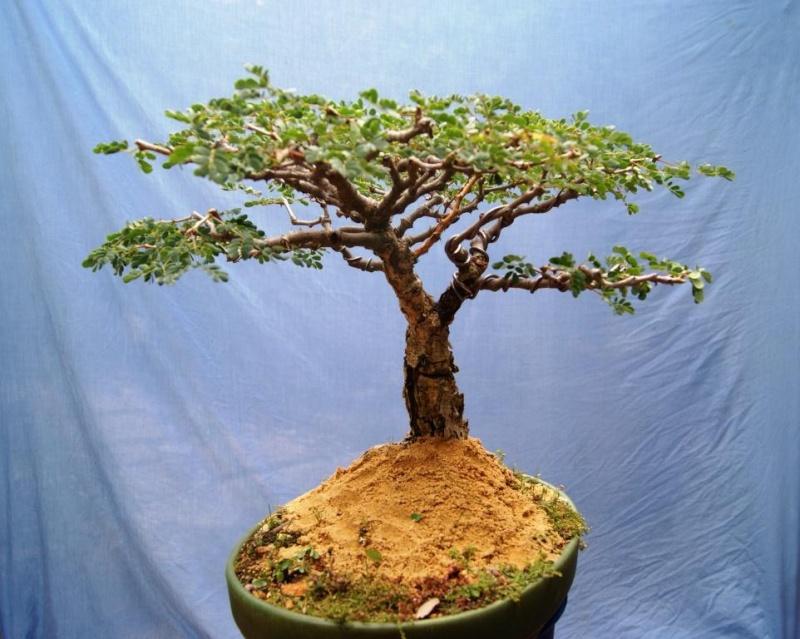 Acacia burkei,  Pierneef Style Acacia13