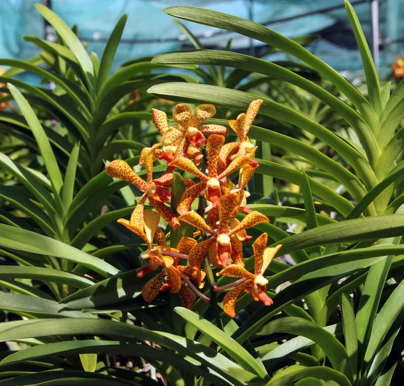 [Papeete] PAPEETE HIER ET AUJOURD'HUI - Page 6 Orchid11