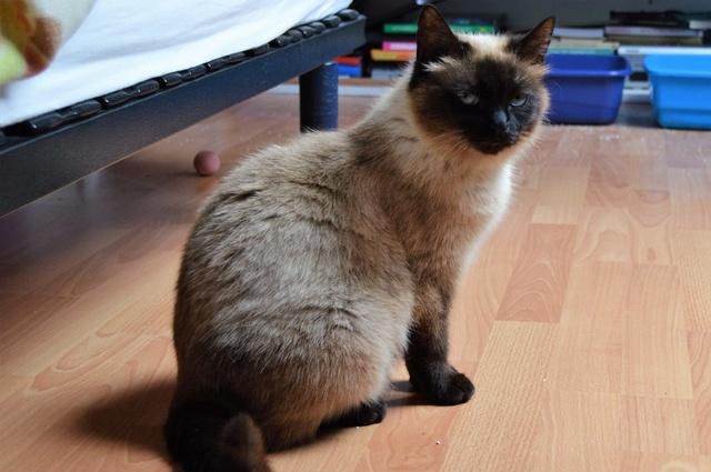 MASCHA, chatte typée siamoise, née en 2016 Dsc_0071