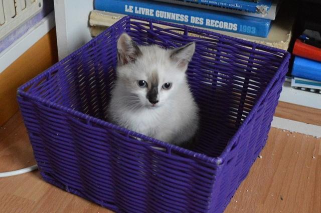 NEVE, chatonne typée siamoise, née vers le 15/04/17 Dsc_0074