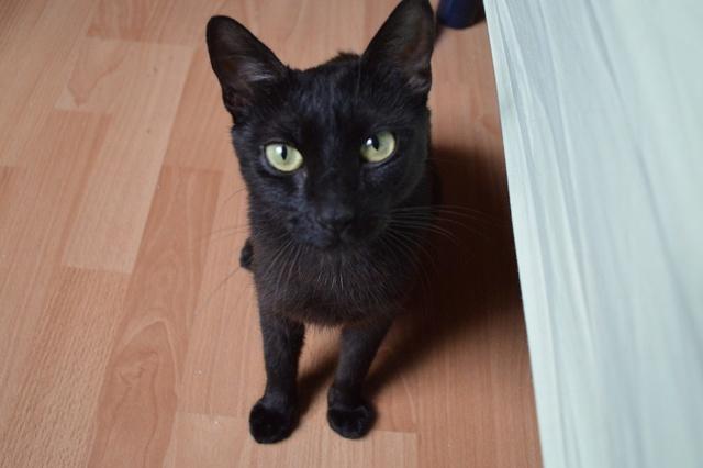 LYNN, chatte noire née en 2015 Dsc_0094