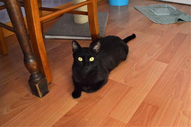 LYNN, chatte noire née en 2015 Dsc_0096