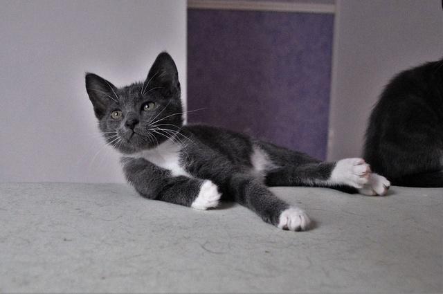 nestor - NESTOR, chaton mâle gris et blanc, né début Mai 2017 Dsc_0126