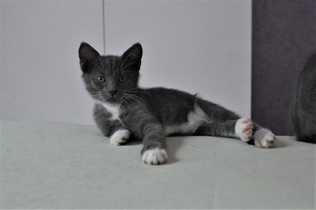 nestor - NESTOR, chaton mâle gris et blanc, né début Mai 2017 Dsc_0127
