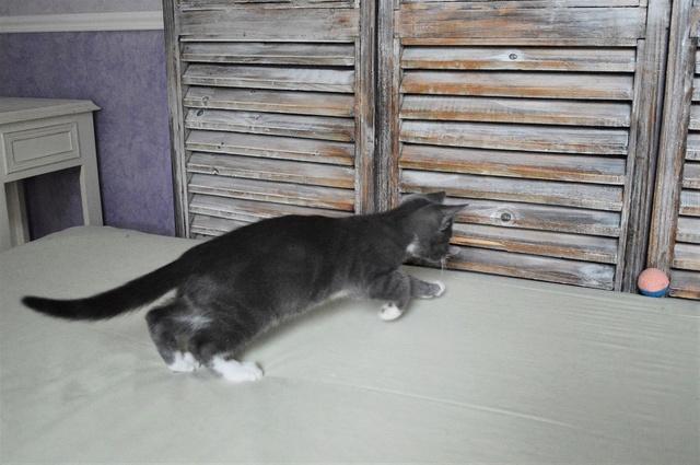 nestor - NESTOR, chaton mâle gris et blanc, né début Mai 2017 Dsc_0131