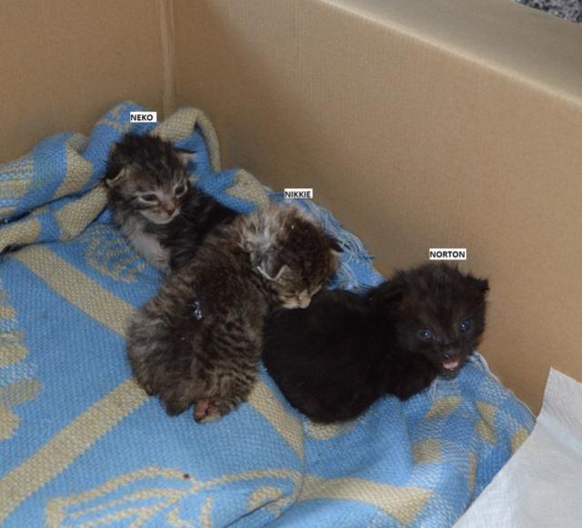 nikkie - NIKKIE, chatonne tigrée et blanche, née le 09/07/17 Dsc_0174
