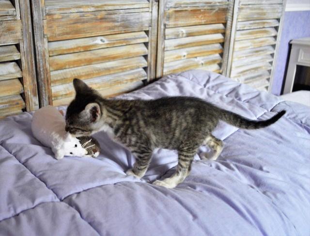 nikkie - NIKKIE, chatonne tigrée et blanche, née le 09/07/17 Dsc_0182