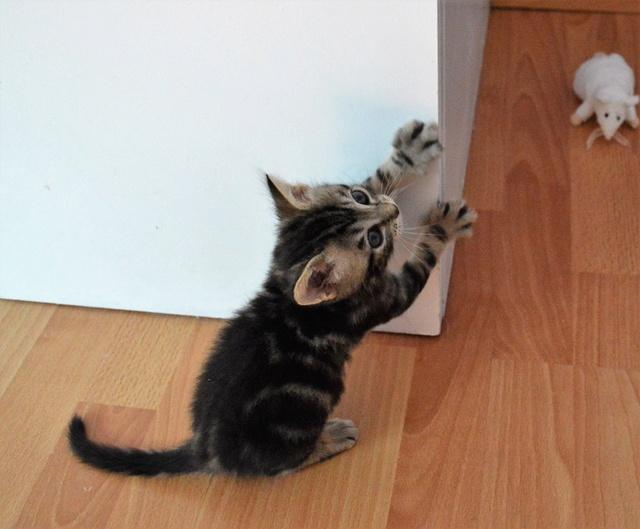 NEKO, chaton tigré né le 09/07/17 Dsc_0197