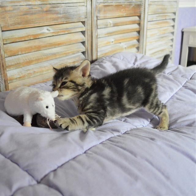 NEKO, chaton tigré né le 09/07/17 Dsc_0198