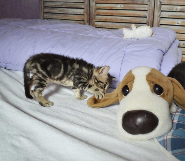 NEKO, chaton tigré né le 09/07/17 Dsc_0200