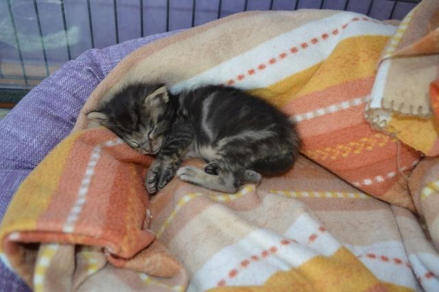 NEKO, chaton tigré né le 09/07/17 Dsc_0201