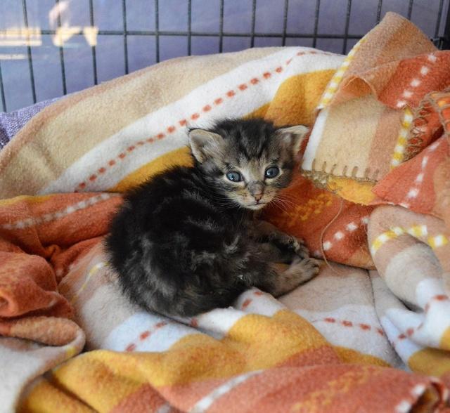 NEKO, chaton tigré né le 09/07/17 Dsc_0202
