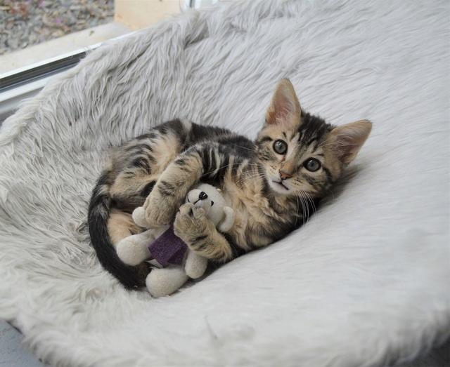 NEKO, chaton tigré né le 09/07/17 Dsc_0204