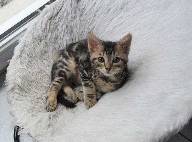 NEKO, chaton tigré né le 09/07/17 Dsc_0205