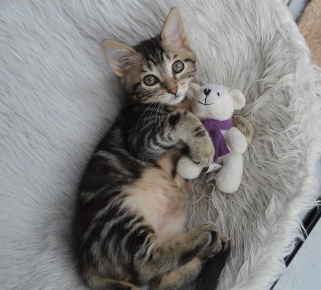 NEKO, chaton tigré né le 09/07/17 Dsc_0206