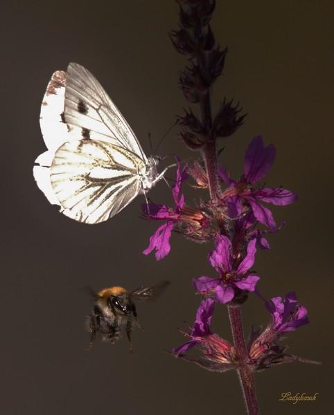 l'abeille et le papillon Papill10