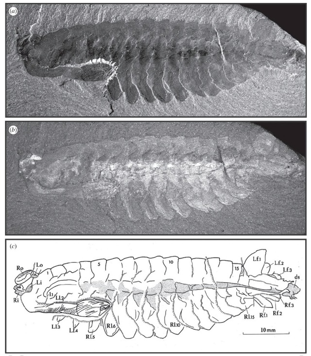 Opabinia - the strangest animal of the Cambrian 0b1-op10