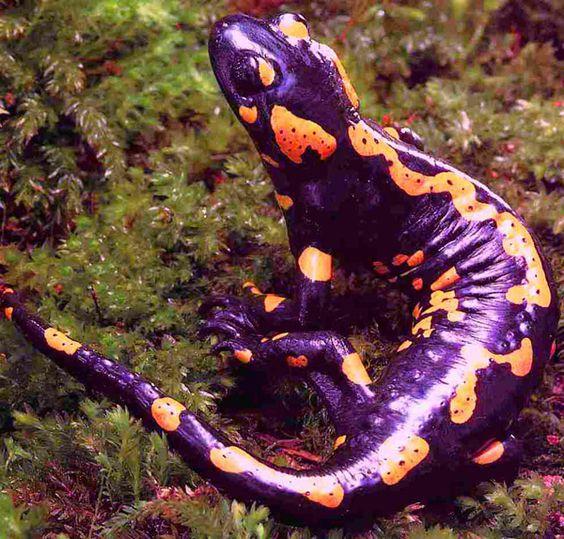 Salamanders are amazing 0ba24910