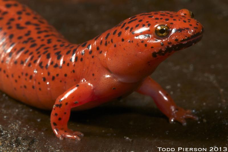Salamanders are amazing 10503210