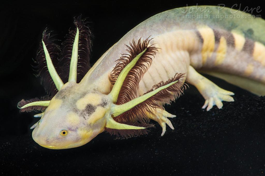 Salamanders are amazing 10916210