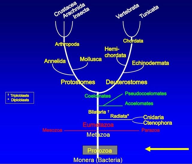 The fantastic design of  unicellular euplote protists 110
