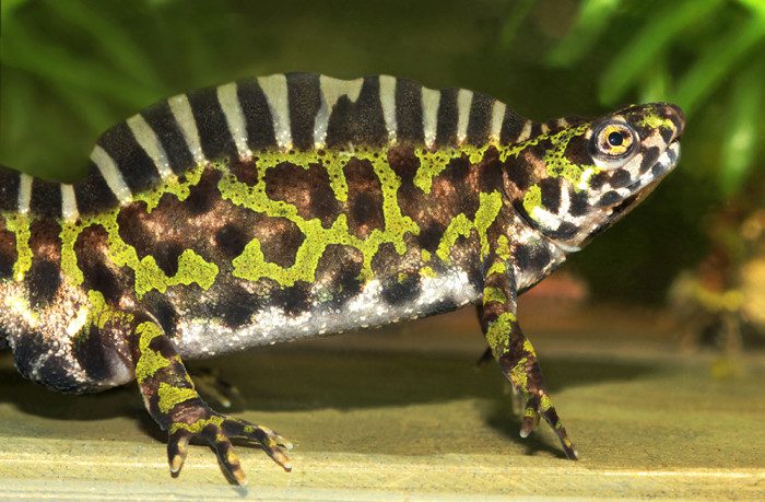 Salamanders are amazing 130710