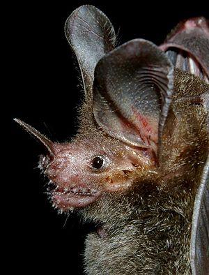 Spectacular bats 300px-10