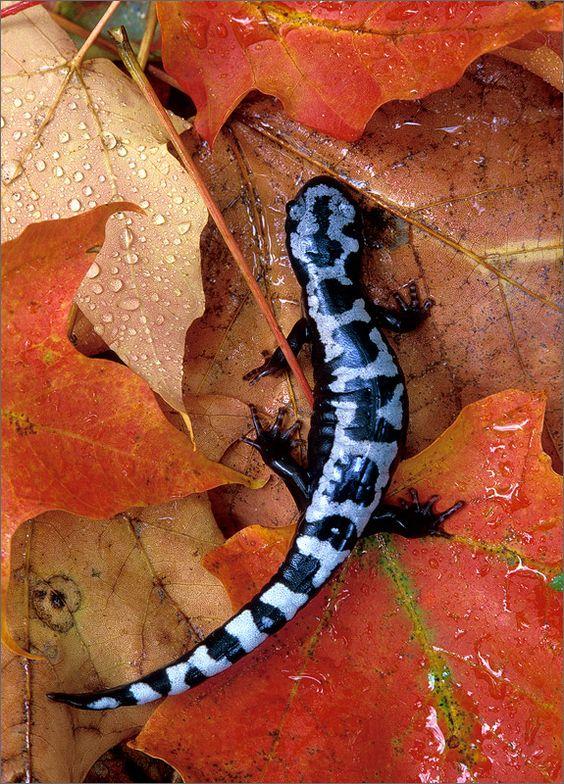 Salamanders are amazing 402c5010