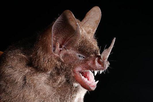 Spectacular bats 532px-10