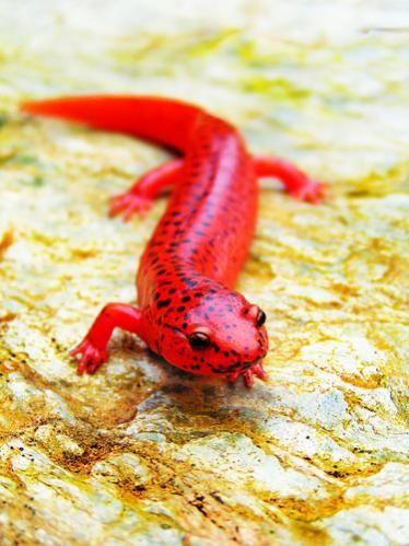 Salamanders are amazing 5a6b6210