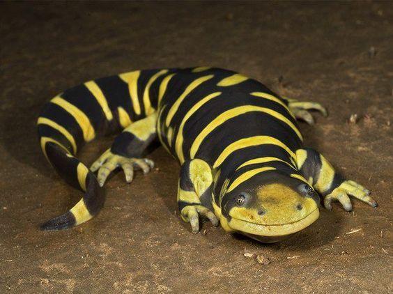 Salamanders are amazing 656ed010