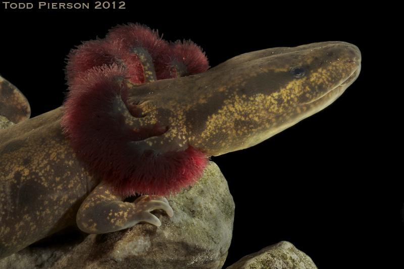 Salamanders are amazing 82929710