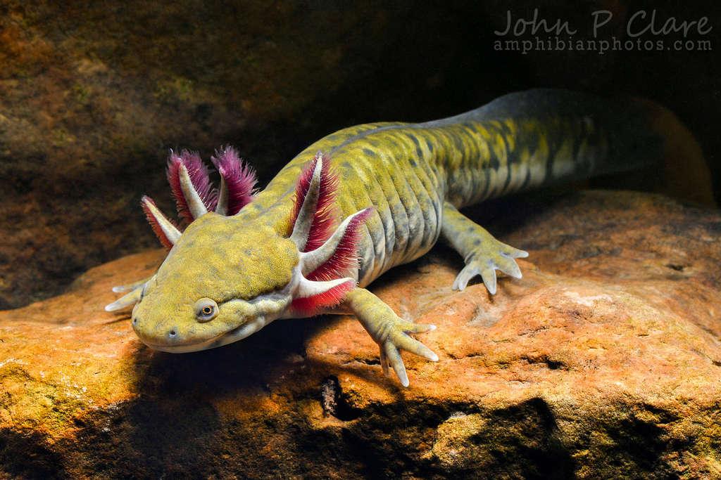Salamanders are amazing 94980411