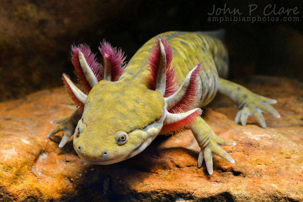 Salamanders are amazing 94980511
